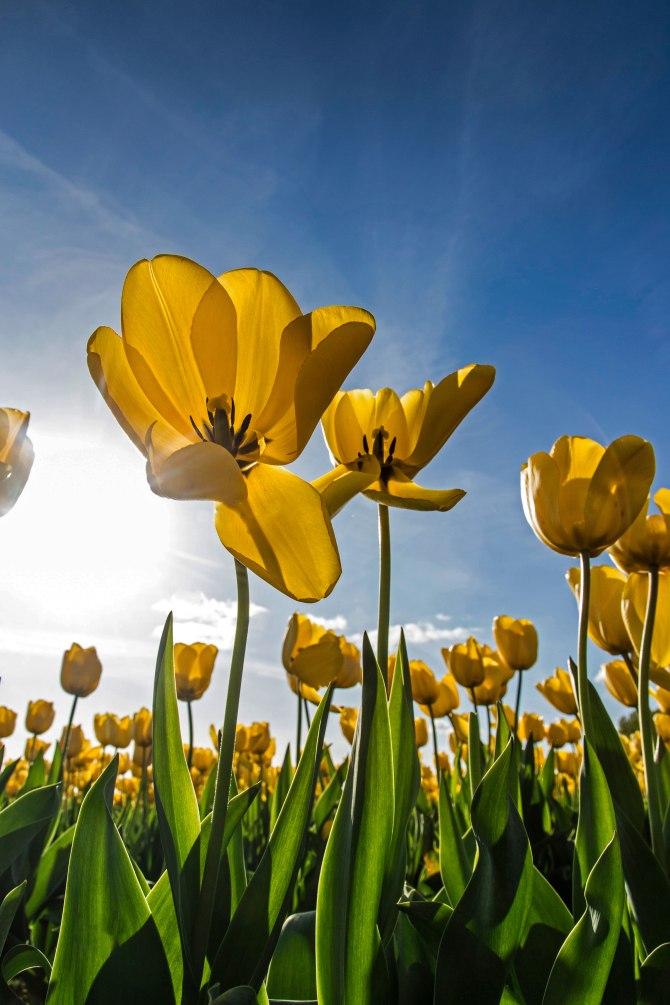 tulips-9m