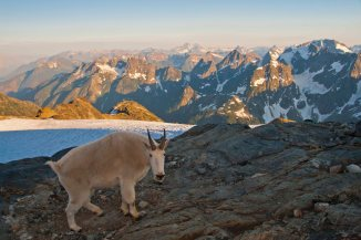 Mountain Goat at North Cascades National Park