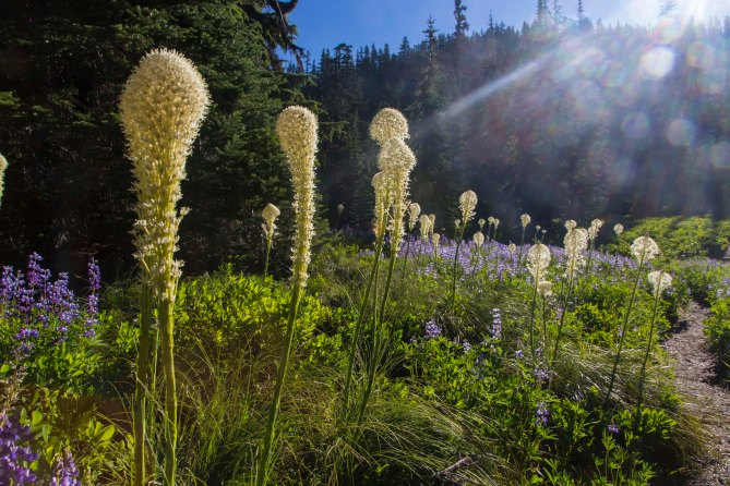 Morning light and Beargrass