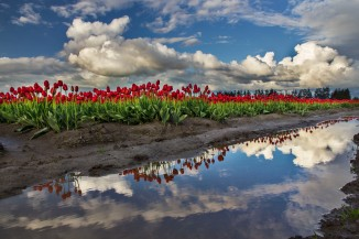Red Tulips in Skagit Valley