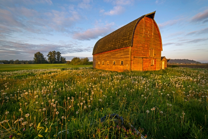 Barn and Dandelions