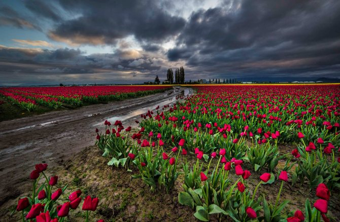 Tulips and Stormy Skies