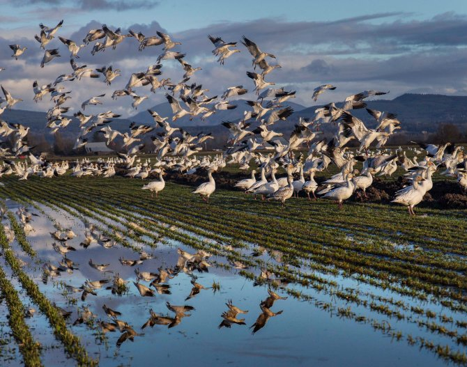 Snow Geese on Fir Island, Skagit Valley