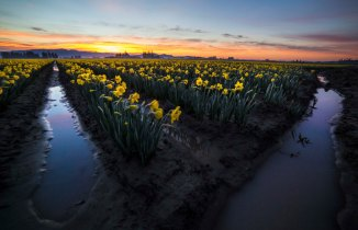 Daffodils, Morning Light