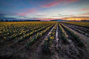 Skagit Daffodils at sunrise