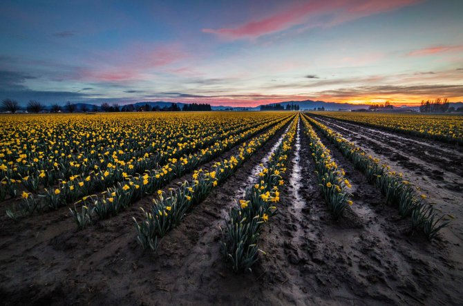Skagit Daffodils at sunrise
