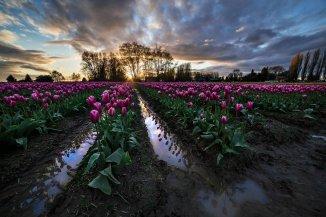 Skagit_Valley_Tulip_Festival 2015_3