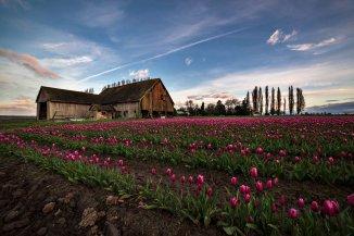 Skagit_Valley_Tulip_Festival 2015_45