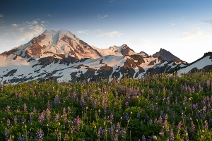 Mount Baker and Lupine from the Skyline Divide Trail
