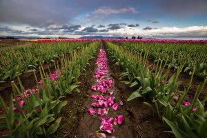 Fallen_Tulips