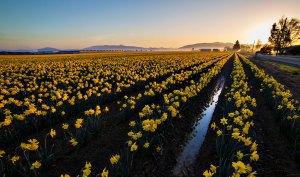 Skagit_Valley_Daffodil_Festival 2015_12