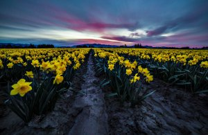 Skagit_Valley_Daffodil_Festival 2015_13