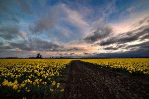 Skagit_Valley_Daffodil_Festival 2015_5