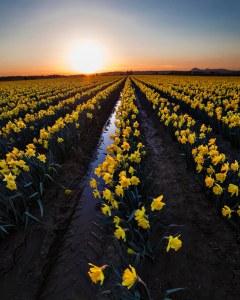 Skagit_Valley_Daffodil_Festival 2015_8