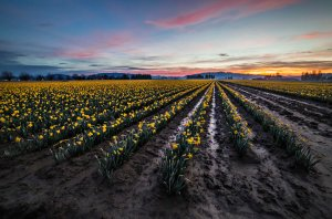 Skagit_Valley_Daffodil_Festival 2015_9