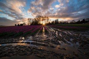 Skagit_Valley_Tulip_Festival 2015_1