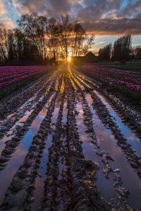 Skagit_Valley_Tulip_Festival 2015_10