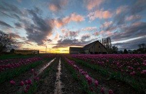 Skagit_Valley_Tulip_Festival 2015_13