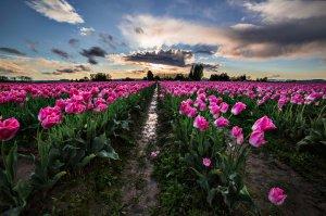Skagit_Valley_Tulip_Festival 2015_20