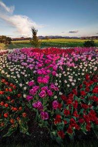 Skagit_Valley_Tulip_Festival 2015_22