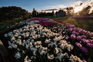 Skagit_Valley_Tulip_Festival 2015_23
