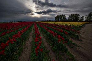 Skagit_Valley_Tulip_Festival 2015_26