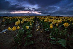 Skagit_Valley_Tulip_Festival 2015_27