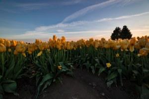 Skagit_Valley_Tulip_Festival 2015_32