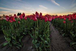 Skagit_Valley_Tulip_Festival 2015_34