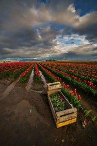 Skagit_Valley_Tulip_Festival 2015_4