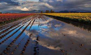 Skagit_Valley_Tulip_Festival 2015_9