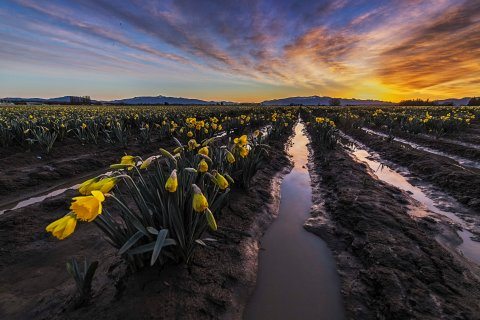 Daffodils at sunrise 2