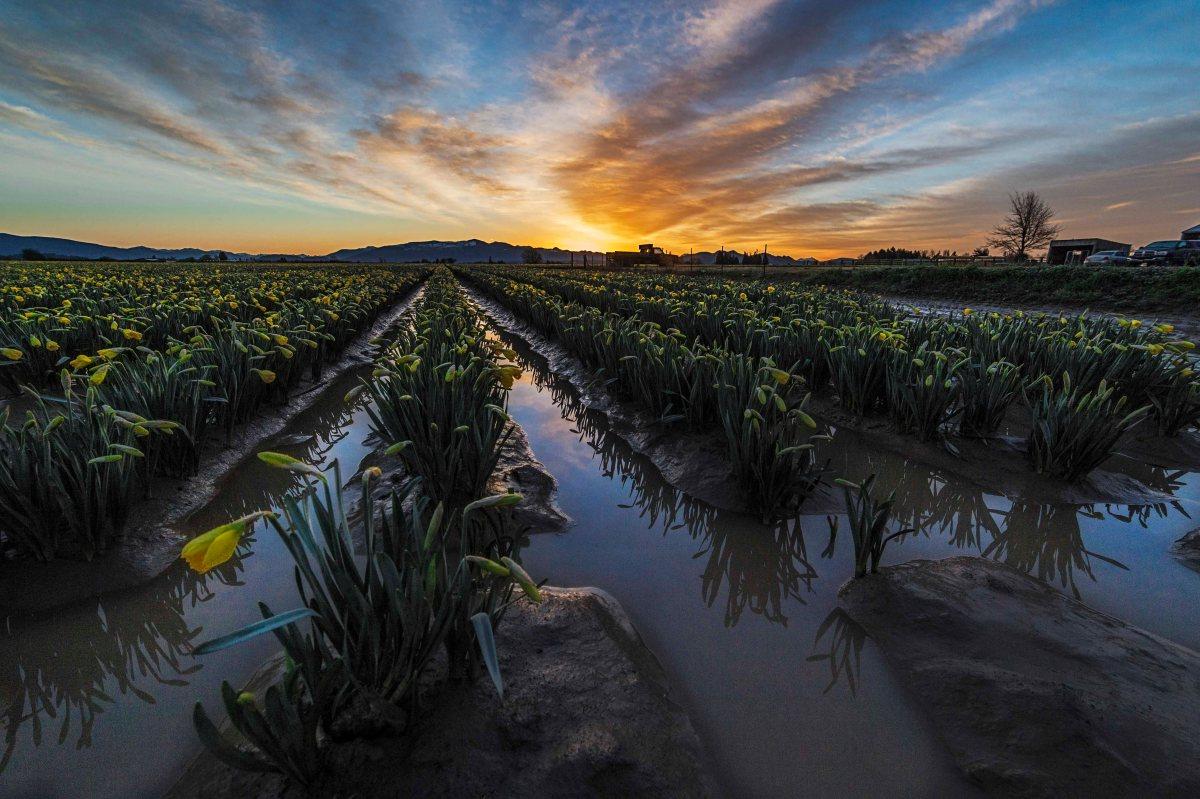 Daffodils at sunrise 3