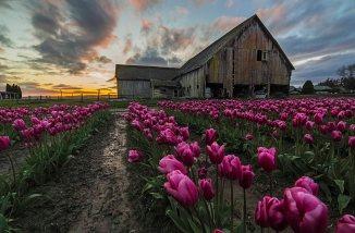 barn pink tulips