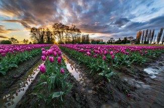 Tulips 2015 best