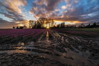 tulips and muddy field 2016