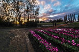 Tulips at sunset 2016-1