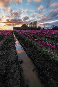 Tulips at sunset 2016-2