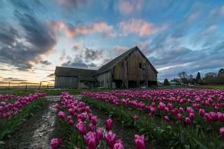 Tulips at sunset 2016-3