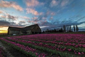 Tulips at sunset 2016-4