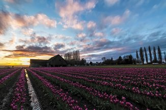 Tulips at sunset 2016-5