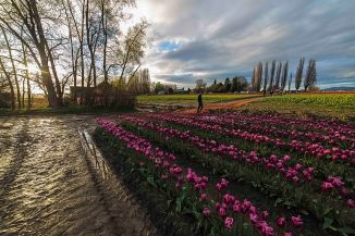 Tulips at sunset 2016-6