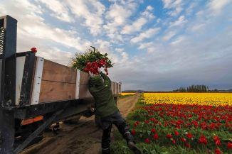 Tulip Truck1