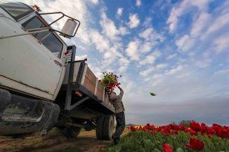 Tulip Truck4
