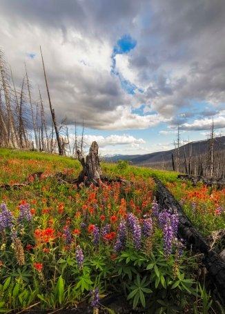 Paintbrush and Lupine, Pasayten Wilderness