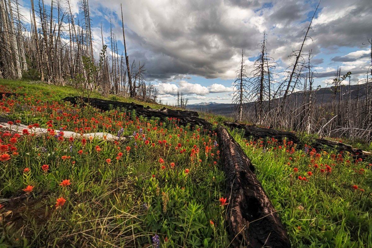 Paintbrush over an old burn, Pasayten Wilderness 2