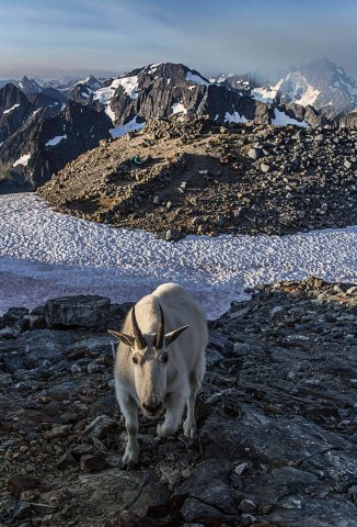 Mountain Goat at Sahale Glacier Camp, North Cascades National Park 1