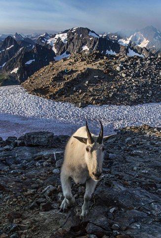 Mountain Goat at Sahale Glacier Camp, North Cascades National Park 2