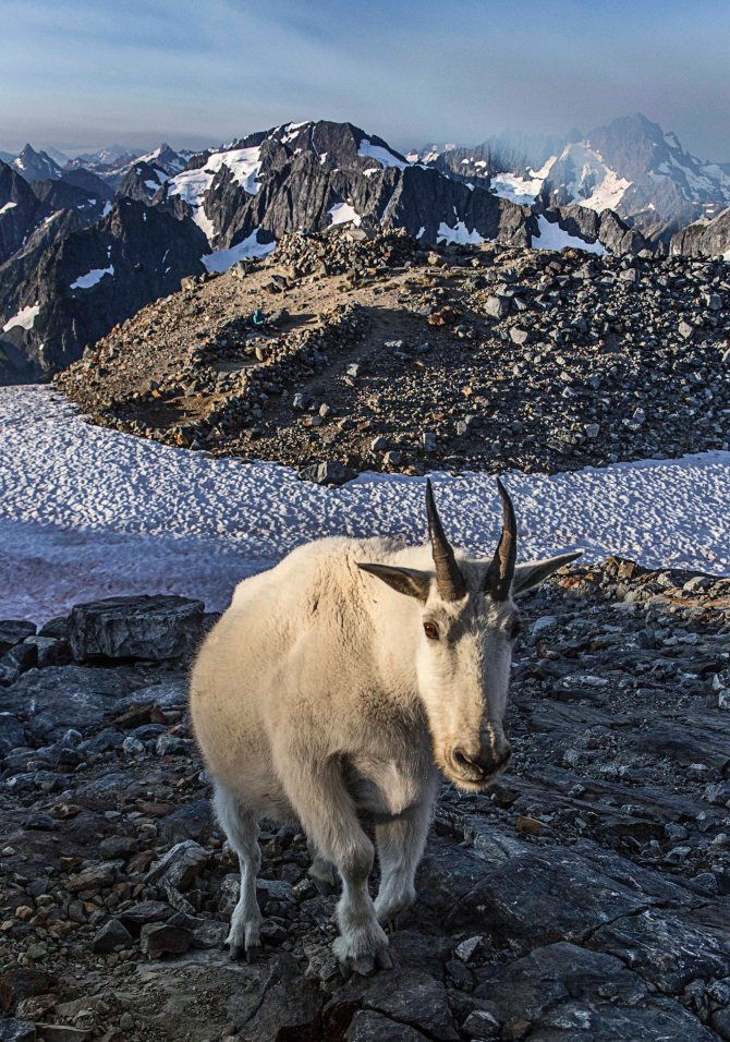 Mountain Goat at Sahale Glacier Camp, North Cascades National Park 3