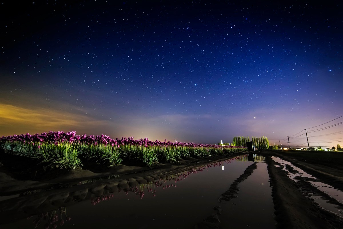 tulips-and-stars-2a